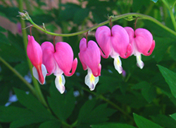 bleeding-heart.jpg