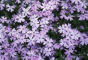 creeping-phlox-blue.jpg
