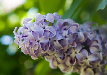 Plant Of The Week U2013 Lilacs