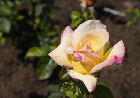 peace-rose-blooming.jpg