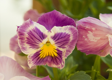 pink-and-purple-pansy.jpg