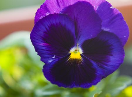 purple-pansy-maybe-blurry.jpg