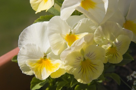 white-and-yellow-pansies.jpg