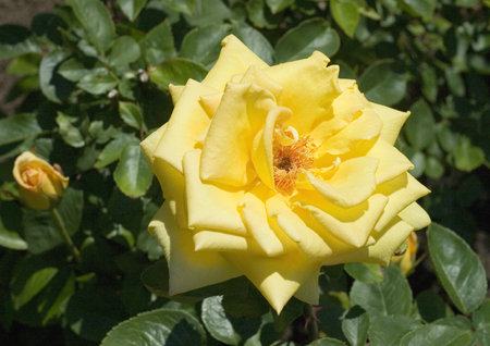 Meaning Of A Yellow Rose 2