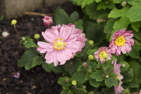 pink-daisy.jpg
