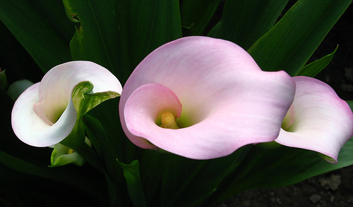 calla-lilies