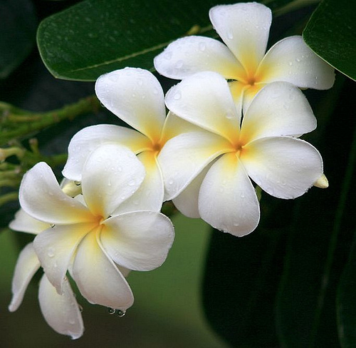 Most Beautiful Flowers In The Worldacccording To Me Plumeria Frangipani1