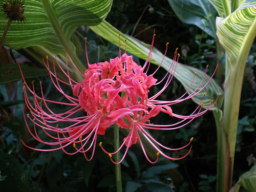 lycoris