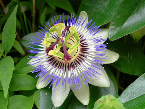 The most beautiful flowers in the world the garden corner passionflower mightylinksfo